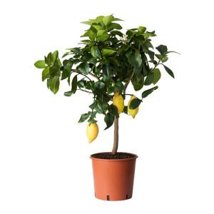 citrus-rastenie-v-gorske__0212620_PE366705_S4