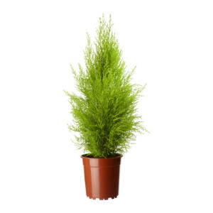 cupressus-macrocarpa-rastenie-v-gorske__0134629_PE291016_S4